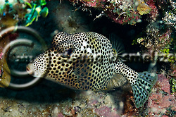 Spotted Trunkfish, Lactophrys bicaudalis, Grand Cayman (StevenWSmeltzer.com)
