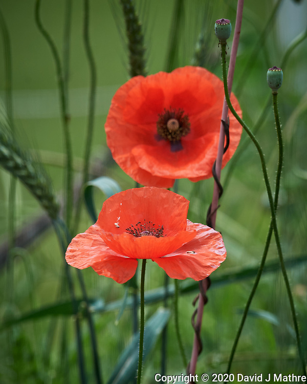 Red/Oriental Poppies. Image taken with a Nikon D5 camera and 600 mm f/4 VR lens (DAVID J MATHRE)