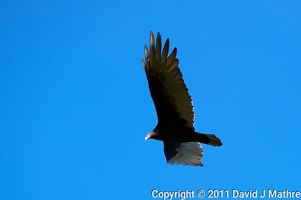 Turkey Vulture Soaring. Autumn in New Jersey. Image taken with a Nikon D3s and 300 mm f/2.8 VR lens (ISO 200, 300 mm, f/4.5, 1/320). (David J Mathre)