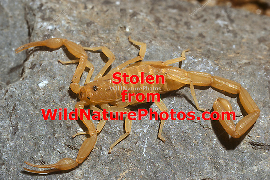 The Bark Scorpion (Centruroides exilicauda) is often found in under rocks during the day (Arizona) (Richard Wagner/Rich Wagner | WildNaturePhotos)