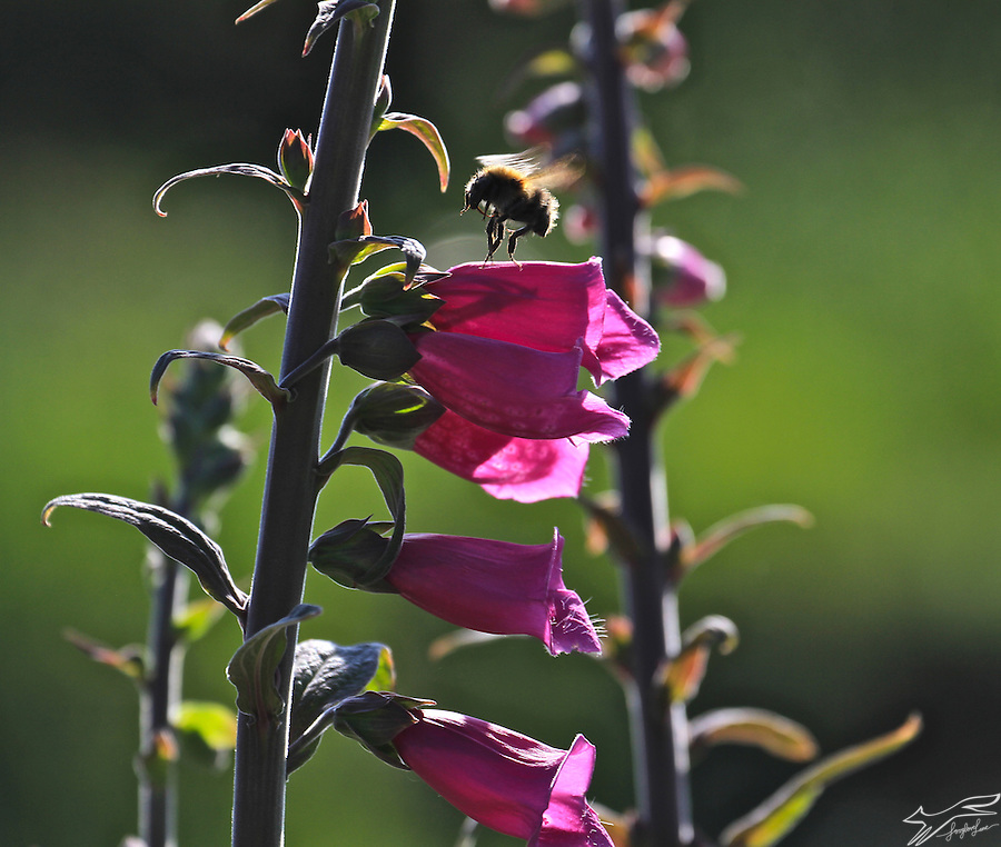 The exuberance of summer is summed up in the buzzing and dancing of bees in foxgloves on the lane. (Catherine Drea)