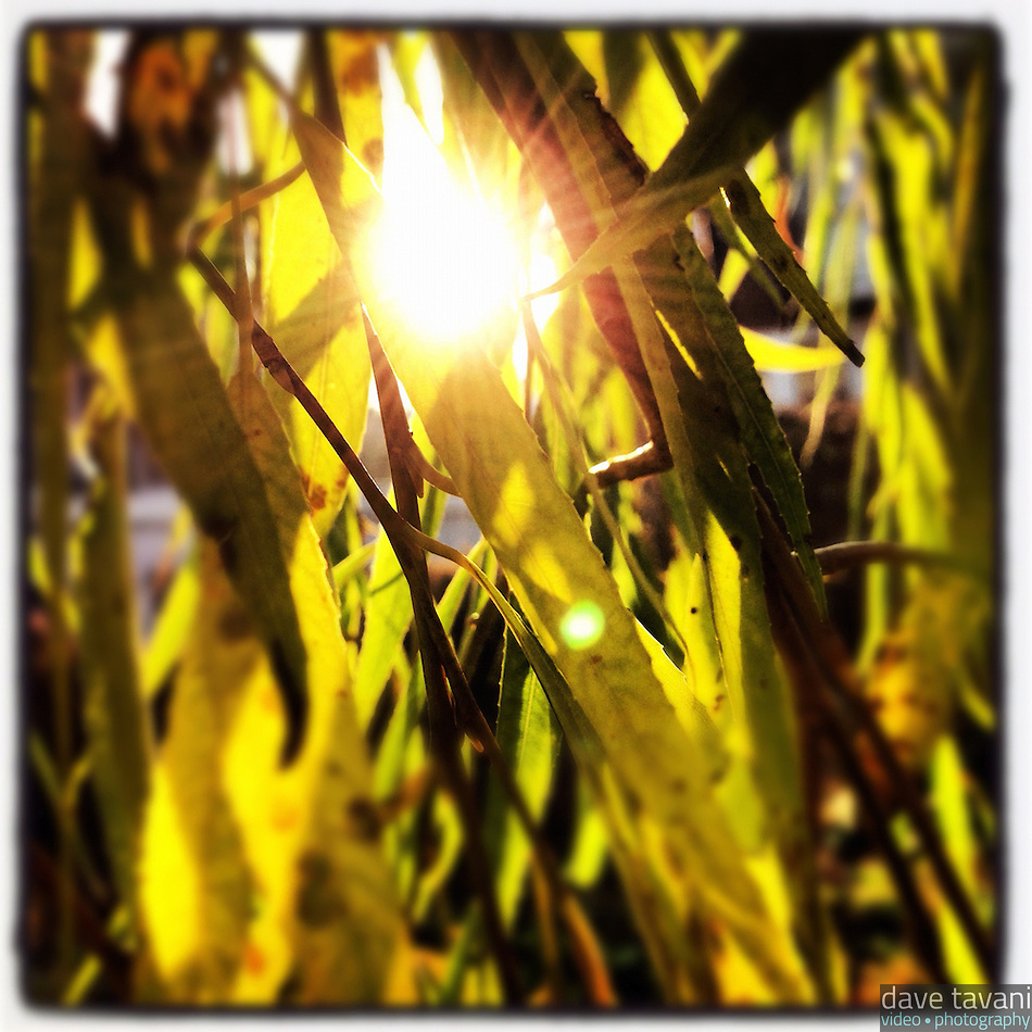 The sun bursts through the leaves of a willow tree in Holman Field in the Germantown section of Philadelphia on the morning of December 4, 2012. (Dave Tavani)