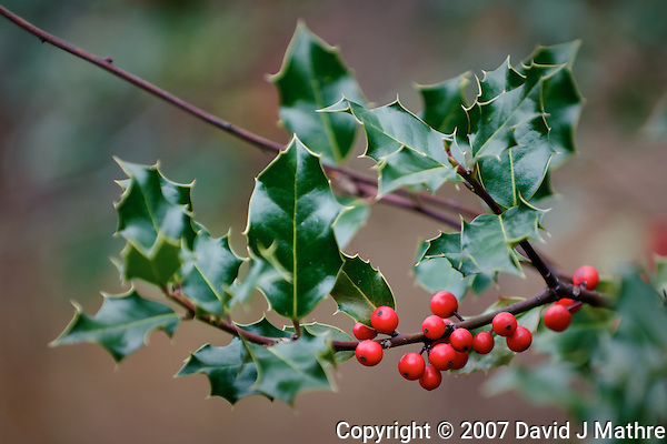 New Jersey Late Fall Backyard Nature. Holly berries. Image taken with a Nikon D300 and 70-200 mm lens (ISO 200, 200 mm, f/2.8, 1/160 sec). (David J Mathre)