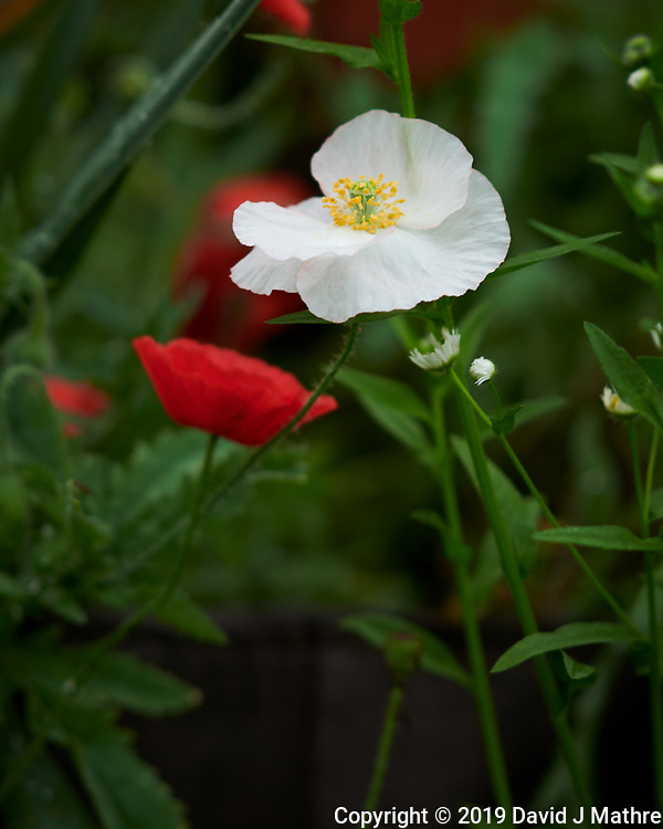 White Poppy. Image taken with a Nikon D850 camera and 105 mm f/1.4 lens (DAVID J MATHRE)