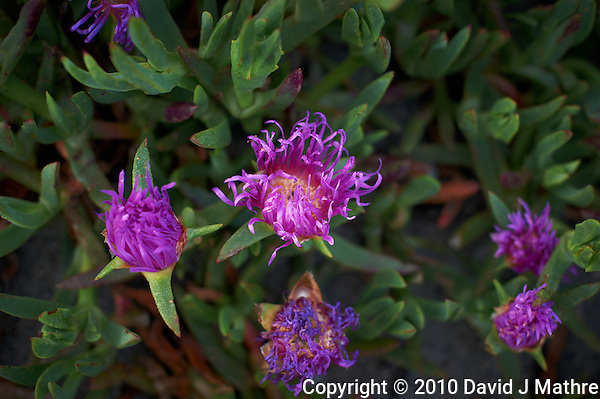 Sea Fig (Carpobrotus chilensis) near Pico Creek, San Simeon, Central California Coast. Image taken with a Nikon D3s and 50 mm f/1.4G lens (ISO 800, 50 mm, f/3.2, 1/250 sec). (David J Mathre)