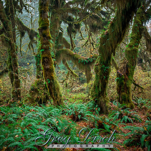 The Hoh Rain Forest lies on the west side of Olympic National Park, the Hoh Rain Forest is accessed by the Upper Hoh Road, off of Highway 101 Throughout the winter season, rain falls frequently in the Hoh Rain Forest, contributing to the yearly total of 140 to 170 inches (or 12 to 14 feet!) of precipitation each year. The result is a lush, green canopy of both coniferous and deciduous species. Mosses and ferns that blanket the surfaces add another dimension to the enchantment of the rainforest. (Greg Disch gdisch@gregdisch.com)