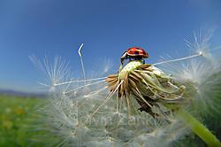 The harlequin ladybird (Harmonia axyridis) is an invasive species throughout North America, northwestern Europe and lately (since 2004) also in the UK. | Asiatischer Marienkäfer (Harmonia axyridis) auf Löwenzahn (Taraxacum officinale) Der Asiatische Marienkäfer (Harmonia axyridis) ist ein Käfer (Coleoptera) aus der Familie der Marienkäfer (Coccinellidae). Er wird auch als Vielfarbiger Marienkäfer oder Harlekin-Marienkäfer bezeichnet. Ursprünglich kommt der Asiatische Marienkäfer aus Japan und China. Er wurde Ende des 20. Jahrhunderts zunächst in die USA und dann auch nach Europa eingeführt, wo man ihn auch heute noch zur biologischen Schädlingsbekämpfung erwerben kann. Inzwischen tritt er an vielen Stellen massenhaft wild auf und man befürchtet, dass er einheimische Marienkäfer-Arten verdrängt. (Solvin Zankl)