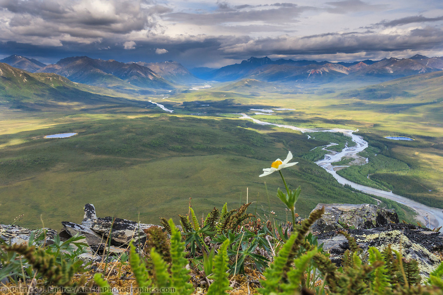Alaska river photos: Windflower blossom on the tundra overlooking the North Fork of the Koyukuk River in the Gates of the Arctic National Park, Brooks Range, Alaska. (Patrick J Endres / AlaskaPhotoGraphics.com)