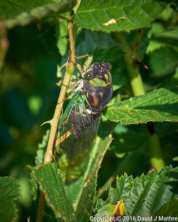 Dog Day Cicada. Image taken with a Fuji X-T1 camera and 100-400 mm OIS lens. (David J Mathre)