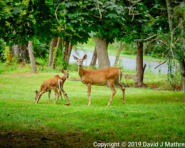Doe and two fawns. Image taken with a Fuji X-H1 camera and 80 mm f/2.8 macro lens + 1.4x teleconverter. (DAVID J MATHRE)
