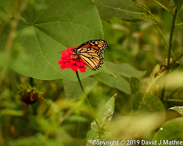 Monarch Butterfly. Image. taken with a Leica CL camera and 55-135 mm lens (DAVID J MATHRE)