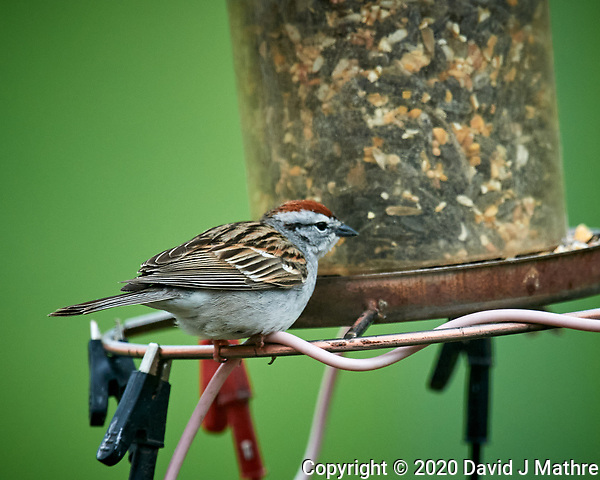 Chipping Sparrow. Image taken with a Nikon D5 camera and 600 mm f/4 VR lens (ISO 1600, 600 mm, f/5.6, 1/800 sec). (DAVID J MATHRE)