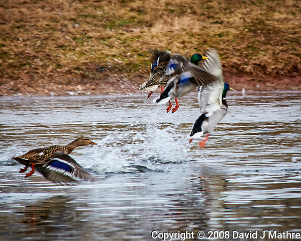Mallard Ducks taking off out of the pond at the Sourland Mountain Preserve. Image taken with a Nikon D300 camera and 80-400 mm VR lens (ISO 560, 400 mm, f/8, 1/250 sec). (David J Mathre)