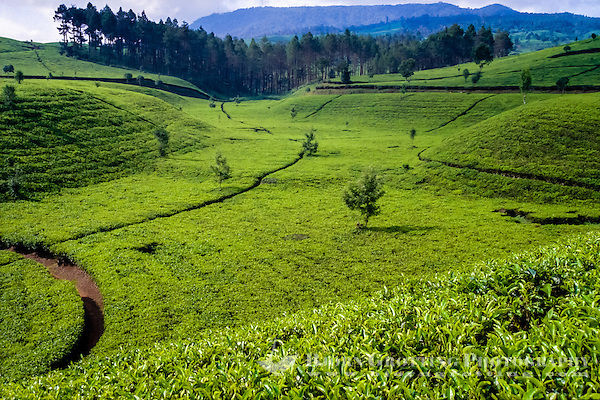 Indonesia, Java, Cisarua. Tea are grown in high altitudes, like here in the hills above Bandung. Tea has been part of the way of life in Indonesia for more than 200 years. (Photo Bjorn Grotting)