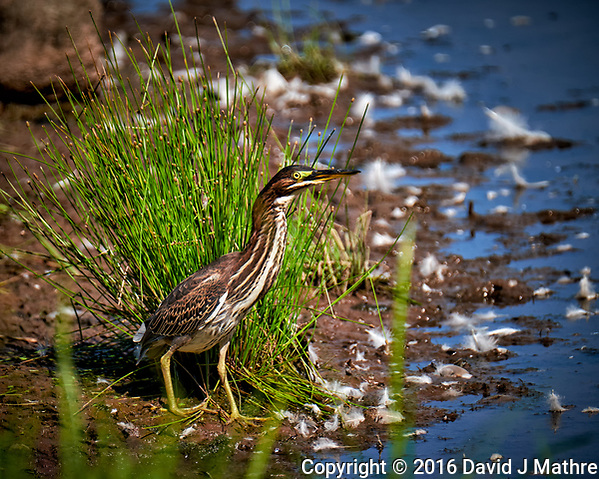 Elusive American Bittern at the Pond. Image taken with a Fuji X-T1 camera and 100-400 mm OIS lens (ISO 200, 400 mm, f/5.6, 1/600 sec). (David J Mathre)