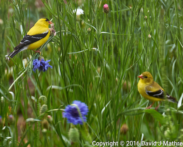 American Goldfinch and Partner (or Junior) Feasting on the Bachelor Button Flowers. Image taken with a Fuji X-T1 camera and 100-400 mm OIS lens (David J Mathre)