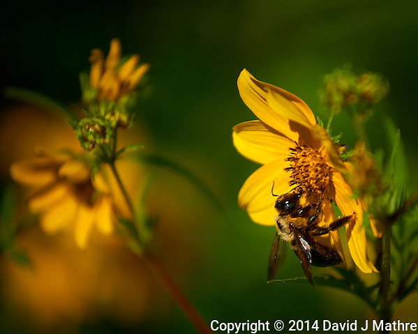 Bumblebee Working the Late Summer Flowers at the Sourland Mountain Preserve, in New Jersey. Image taken with a Nikon D800 camera and 70-200 mm f/4 VR lens (ISO 100, 200 mm, f/4, 1/1600 sec). Raw image processed with Capture One Pro, Focus Magic, and Photoshop CC 2014. (David J Mathre)