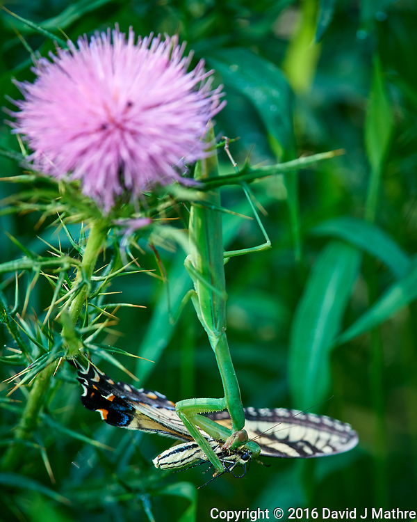 Praying Mantis With an Eastern Tiger Swallowtail for Sunday Brunch. Sourland Mountain Preserve. Summer Nature in New Jersey. Images taken with a Nikon D810a camera and 300 mm f/4 lens. (David J Mathre)