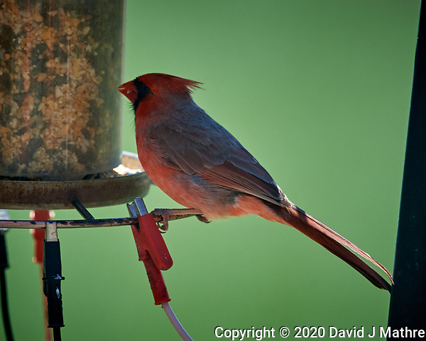 Male Northern Cardinal. Image taken with a Nikon D5 camera and 600 mm f/4 VR lens (ISO 900, 600 mm, f/5.6, 1/1250 sec) (DAVID J MATHRE)