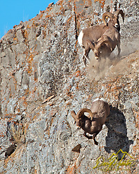 "Fighting Bighorn Rams, one ram knocks another off a cliff (Daryl Hunter's ""The Hole Picture""/Daryl L. Hunter)"