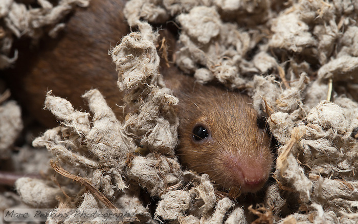 An orange female mouse buries herself in the bedding, poking out just an eye and a nose to scout the surroundings. (Marc C. Perkins)