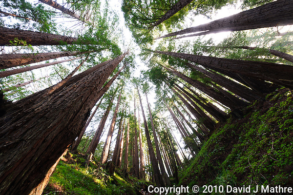 Wide Angle Looking up from a Coastal Redwood Forest. Image taken with a Nikon D3x and 14-24 mm f/2.8 lens (ISO 100, 14 mm, f/16, 2.5 sec). Raw image converted using Adobe Camera Raw 6.2 (landscape and used lens correction). (David J Mathre)