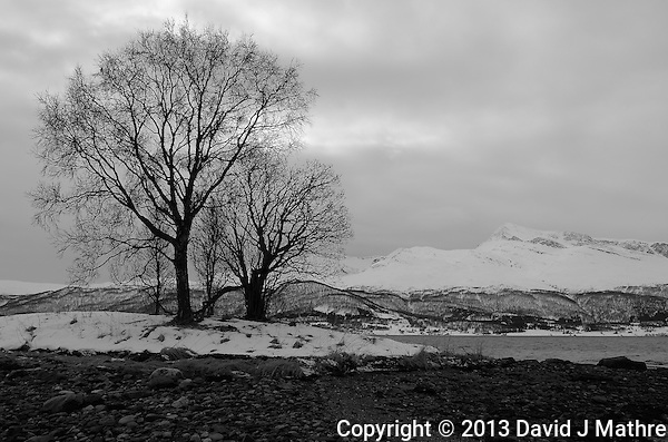 Lonely Trees on Balsfjorden Near Tromsø. Image taken with a Leica X2 camera (ISO 100, 24 mm, f/8, 1/100 sec). In camera B&W. (David J. Mathre)
