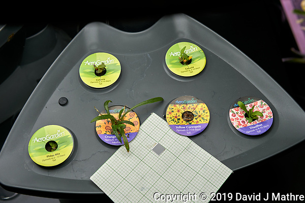"AeroGarden ""Clasic 6"" Great Room 01 at Day 28. Position 01-02: Celosia (Rainbow Fire); Position 03: Phlox Mix; Position 04: Orange Gazania; Position 05: Yellow Coreopsis; Position 06: Dianthus. Image taken with a Leica TL-2 camera and 35 mm f/1.4 lens (ISO 100, 35 mm, f/5.6, 1/80 sec). (DAVID J MATHRE)"