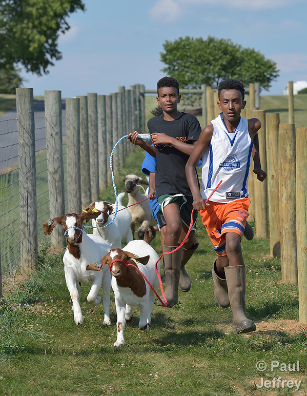 Resettled refugee youth run with goats in Linville, Virginia, on July 17, 2017. The youth are preparing to show sheep and goats in a county fair. The refugees were resettled in the Harrisonburg, Virginia, area by Church World Service. Photo by Paul Jeffrey for Church World Service. (Paul Jeffrey)
