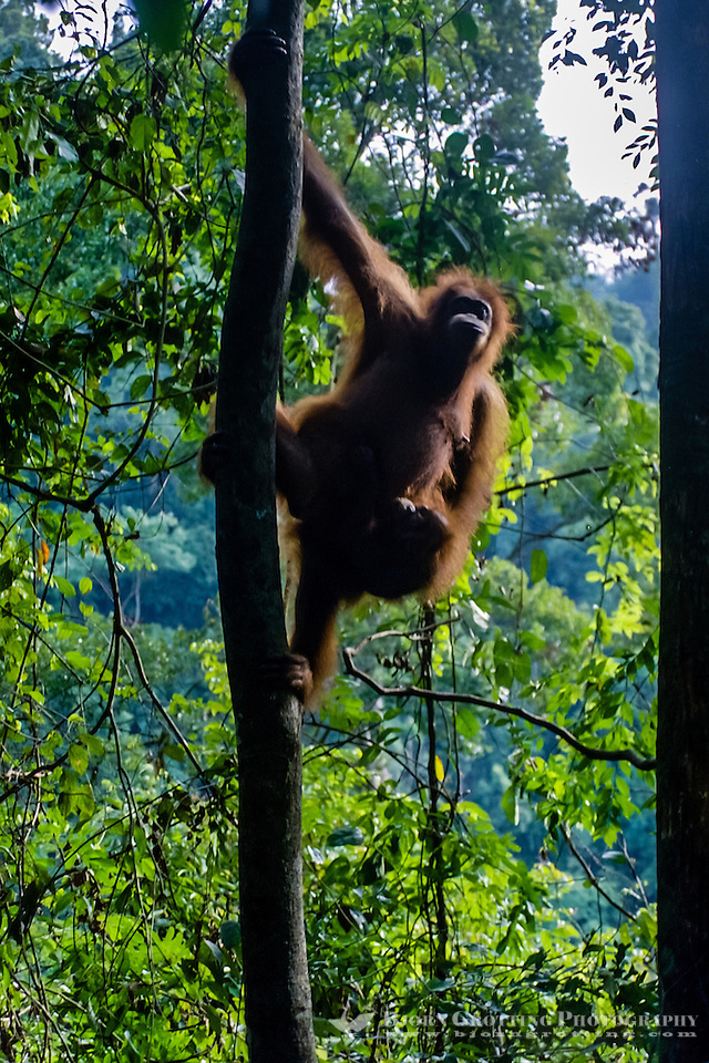 Indonesia, Sumatra. Bukit Lawang. Gunung Leuser National Park. The orangutan sanctuary of Bukit Lawang is located inside the park. (Photo Bjorn Grotting)