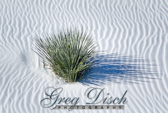Lone yucca plant in the ripples of sand at White Sands National Monument in New Mexico. (Greg Disch)