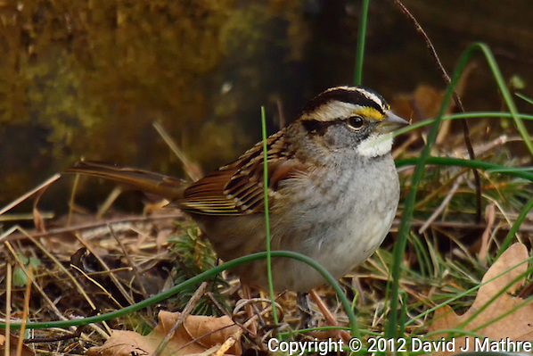 White-throated Sparrow. Backyard Winter Nature in New Jersey. Image taken with a Nikon 1 V2 camera and 600 mm f/4 VR lens (ISO 160, 600 mm, f/4, 1/320 sec). (David J Mathre)