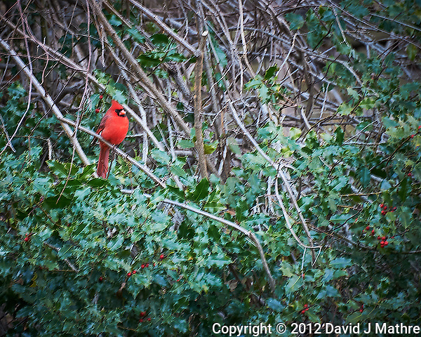 Northern Cardinal in a Holly bush. Image taken with a Nikon D700 camera and 28-300 mm lens (ISO 1000, 300 mm, f/5.6, 1/60 sec). (David J Mathre)