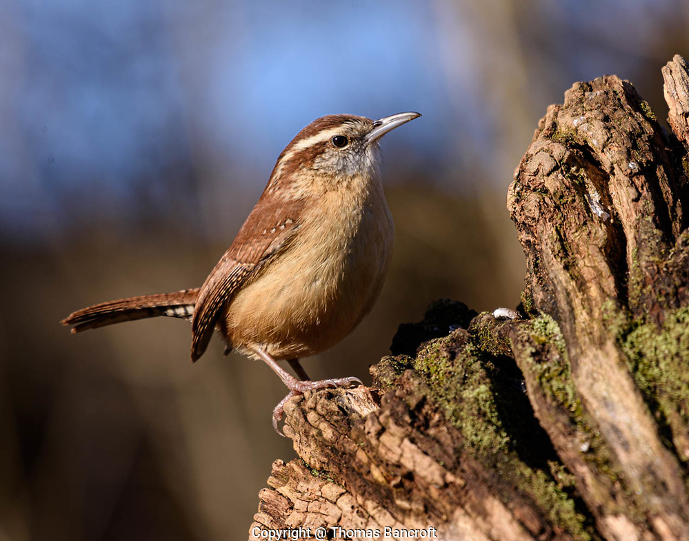 The elegant stance of a Carolina Wren makes it look like it owns the world and knows it. (G. Thomas Bancroft)
