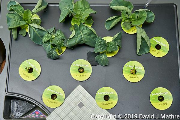 AeroGarden Farm 03 Right Tray at 23 days. R01-R03 Cauliflower; R04-R06 Kale; R07-R09 Cilantro; R10 Oregano; R11 Rosemary; R12 Thyme. Image taken with a Leica TL-2 camera and 35 mm f/1.4 lens (ISO 800, 35 mm, f/11, 1/50 sec). (DAVID J MATHRE)