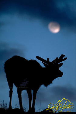 A bull elk in his spring velvet pauses from his browsing to look at the full moon (Daryl L. Hunter)