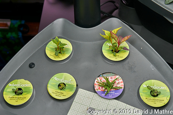 "AeroGarden ""Classic 6"" Garden 02 at Day 49. Position 01-02: Celosia (Rainbow Fire); Position 03: Purple Snapdragon; Position 04: Lavender; Position 05: Dianthus; Position 06: Purple Snapdragon. Image taken with a Leica TL-2 camera and 35 mm f/1.4 lens (ISO 100, 35 mm, f/5.6, 1/80 sec). (DAVID J MATHRE)"