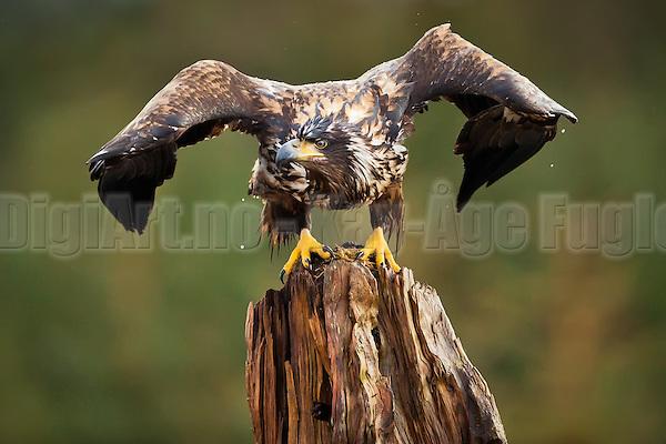 Havørn på stubbe, klar til å lette | White-tailed Eagle on tree-stump, ready for takeof. (Kay-�ge Fugledal)