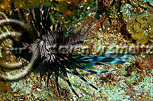 Lionfish Closeup, Pterois volitans, Grand Cayman (Steven Smeltzer)