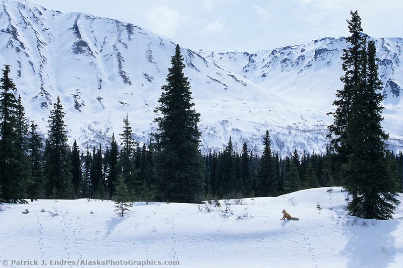 Red fox, Alaska mountain range, Denali State Park, Alaska (Patrick J. Endres / AlaskaPhotoGraphics.com)