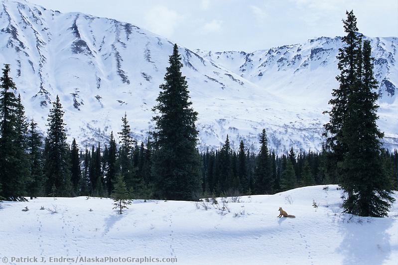 Red fox photos: Red fox, Alaska mountain range, Denali State Park, Alaska (Patrick J. Endres / AlaskaPhotoGraphics.com)
