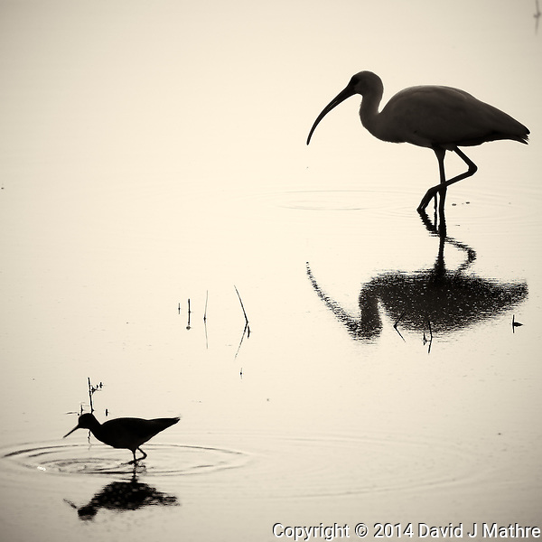 Silhouette and Reflection of a White Ibis and Small Wading Bird Feeding at Merritt Island National Wildlife Refuge in Florida. Image taken with a Nikon 1 V2 camera, FT1 adapter, and 70-200 mm f/4 VR lens (ISO 160, 200 mm, f/4, 1/4000 sec). Raw image processed and converted to B&W with Capture One 7 Pro. Image sharpening using Focus Magic 2. (David J Mathre)