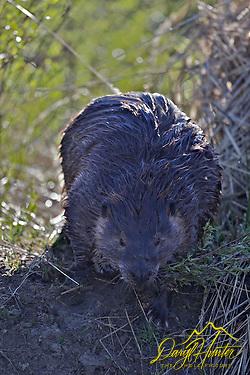 "Beaver, Grand Teton National Park, Wyoming (Daryl Hunter's ""The Hole Picture""/Daryl L. Hunter)"