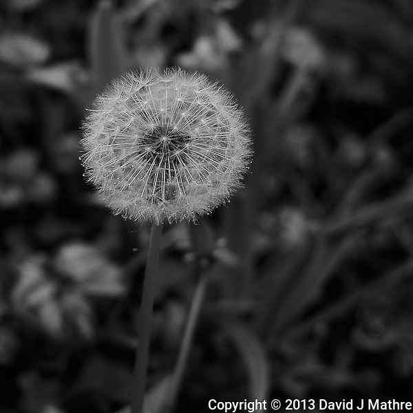 Dandelion Gone to Seed at Keukenhof Tulips Gardens. Image taken with a Leica X2 camera (ISO 100, 24 mm, f/2.8, 1/60 sec). In camera B&W. (David J. Mathre)