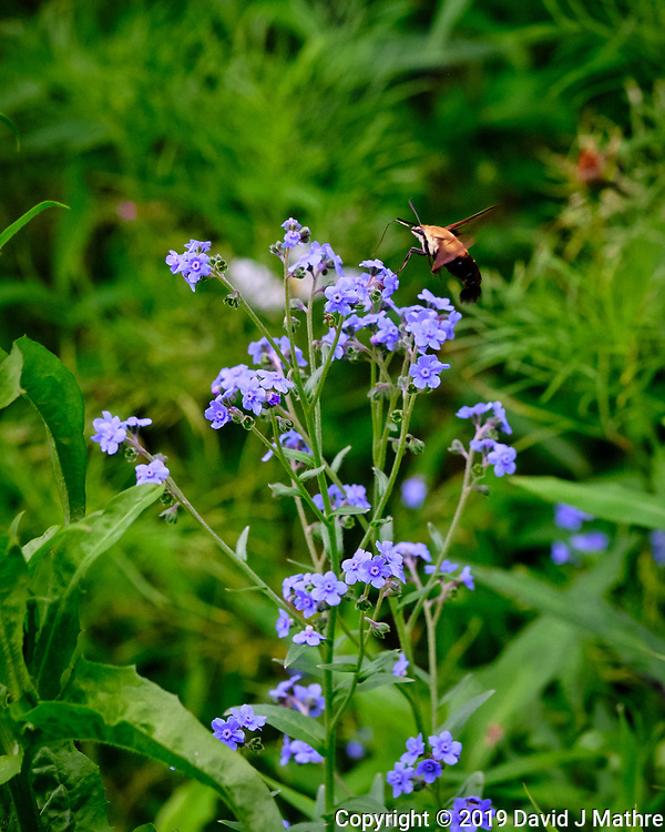 Clearwing Hummingbird Moth feeding on Forget-me-not. Image taken with a Fuji X-H1 camera and 80 mm f/2.8 macro lens (DAVID J MATHRE)