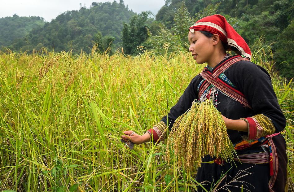 SAPA, VIETNAM - CIRCA SEPTEMBER 2014:  Young woman from the Red Dao minority harvesting on the rice fields in Ta Phin Village near Sapa, north Vietnam. (Daniel Korzeniewski)