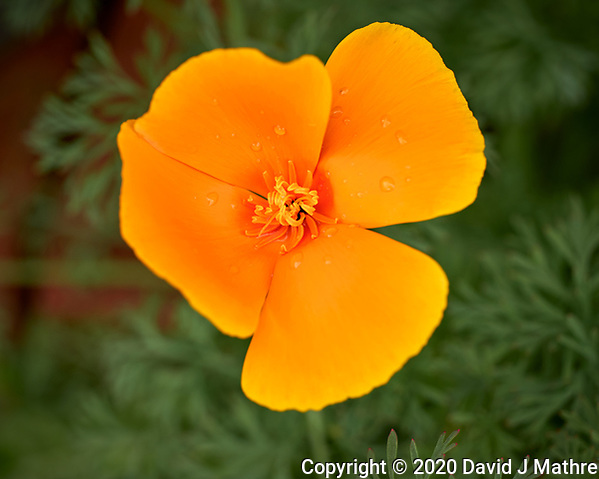 California Poppy flower after the rain. Image taken with a Leica CL camera and 60 mm f/2.8 lens (ISO 100, 60 mm, f/4, 1/500 sec). (DAVID J MATHRE)