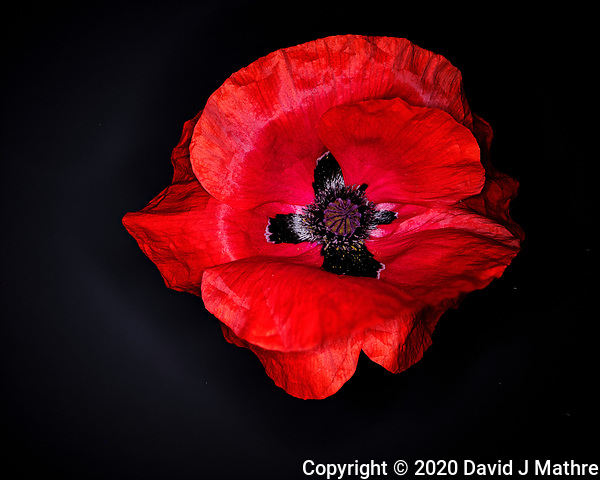 Red Poppy. Composite of 35 focus stacked images taken with a Fuji X-T3 camera and 80 mm f/2.8 macro OIS lens (ISO 160, 80 mm, f/2.8, 1/60 sec). Raw images processed with Capture One Pro and Helicon Focus. (DAVID J MATHRE)