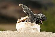 The hatchlings of the Loggerhead Sea Turtle (Caretta caretta) struggle hard to hatch out of their egg shells, emerge from the sand and find their direction once they reached the surface. |Über 50 Tage hat der warme Sand das Ei ausgebrütet, nun kämpft sich diese junge Unechte Karettschildkröte (Caretta caretta) aus der Schale heraus. Sehr schnell macht sich das kleine Tier dann auf den gefährlichen Weg zum Wasser, wobei ihm die Helligkeit des Horizonts über dem Meer Orientierung gibt. (Türkei) (Solvin Zankl)