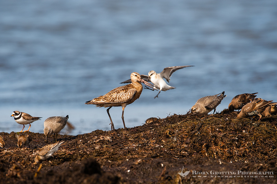 The Bar-tailed Godwit is a large wader. In argument with a Sanderling. At Revtangen on Jaeren, south west Norway. (Photo Bjorn Grotting)
